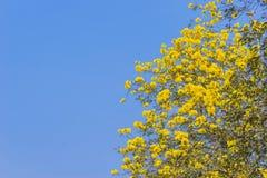 Κίτρινο άνθος λουλουδιών chrysotricha Tabebuia Στοκ Εικόνες