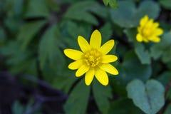 Κίτρινο άνθος στο πράσινο υπόβαθρο στοκ φωτογραφία με δικαίωμα ελεύθερης χρήσης
