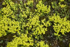 Κίτρινο άνθος του στρέμματος Sedum στοκ φωτογραφίες με δικαίωμα ελεύθερης χρήσης