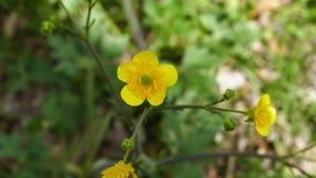 Κίτρινο άνθος χλόης λιβαδιών, ομορφότερο και ζωηρό κίτρινο βίντεο λουλουδιών hd, απόθεμα βίντεο