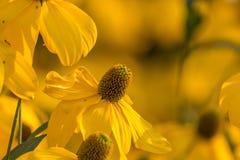 Κίτρινο άνθος Στοκ Φωτογραφία