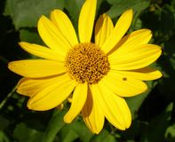 Κίτρινο άνθος Στοκ φωτογραφία με δικαίωμα ελεύθερης χρήσης