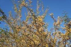 Κίτρινο άνθος mimosa ακακιών Στοκ Εικόνες