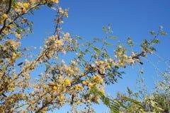 Κίτρινο άνθος mimosa ακακιών Στοκ φωτογραφίες με δικαίωμα ελεύθερης χρήσης
