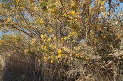Κίτρινο άνθος mimosa ακακιών Στοκ Φωτογραφίες