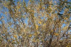 Κίτρινο άνθος mimosa ακακιών Στοκ Εικόνα
