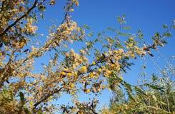 Κίτρινο άνθος mimosa ακακιών Στοκ εικόνες με δικαίωμα ελεύθερης χρήσης