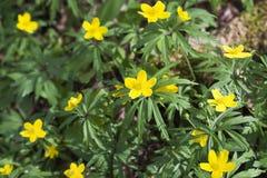 Κίτρινο δάσος anemon Στοκ Εικόνες