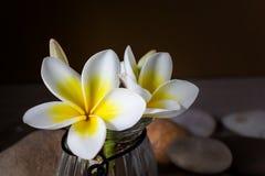 Κίτρινο άσπρο plumeria ή frangipani λουλουδιών στο βάζο γυαλιού Στοκ Εικόνες