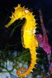 Κίτρινο άλογο θάλασσας Στοκ Εικόνες