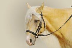 Κίτρινο άλογο Στοκ Φωτογραφίες