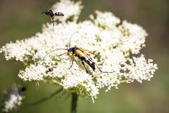 κίτρινο έντομο που τρώει πέρα από το άσπρο λουλούδι στοκ φωτογραφία