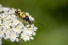 κίτρινο έντομο που τρώει στο άσπρο λουλούδι στοκ φωτογραφίες με δικαίωμα ελεύθερης χρήσης
