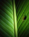 Κίτρινο έντομο στο φύλλο με τη μεγάλη σκιά, Κόστα Ρίκα Στοκ φωτογραφία με δικαίωμα ελεύθερης χρήσης
