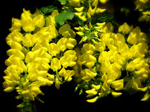 Κίτρινο δέντρο αλυσίδων Στοκ Φωτογραφία