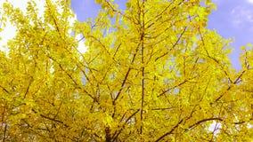 Κίτρινο δέντρο πτώσης Στοκ Εικόνες