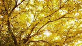 Κίτρινο δέντρο πτώσης Στοκ φωτογραφία με δικαίωμα ελεύθερης χρήσης
