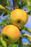 Κίτρινο δέντρο της Apple Στοκ Φωτογραφία