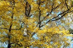 Κίτρινο δέντρο φύλλων φθινοπώρου Στοκ Εικόνες