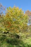 Κίτρινο δέντρο φύλλων φθινοπώρου Στοκ Φωτογραφίες