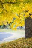 Κίτρινο δέντρο φύλλων φθινοπώρου ginkgo στο πάρκο Στοκ φωτογραφίες με δικαίωμα ελεύθερης χρήσης