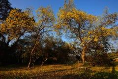 Κίτρινο δέντρο Στοκ Εικόνες