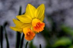 Κίτρινο δίδυμο λουλουδιών Jonquil Στοκ Φωτογραφία