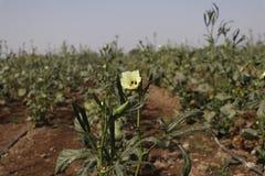 Κίτρινο αγρόκτημα λουλουδιών στοκ εικόνα με δικαίωμα ελεύθερης χρήσης