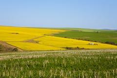 Κίτρινο αγρόκτημα Canola Στοκ Φωτογραφίες