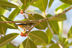 Κίτρινο αερισμένο flowerpecker πουλί στον κλάδο δέντρων κοντά στο ώριμο κόκκινο fru Στοκ Φωτογραφίες