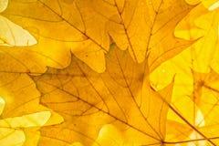 Κίτρινο αναδρομικά φωτισμένο υπόβαθρο φύλλων σφενδάμου φθινοπωρινή διακόσμηση Στοκ φωτογραφία με δικαίωμα ελεύθερης χρήσης