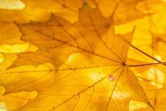 Κίτρινο αναδρομικά φωτισμένο υπόβαθρο φύλλων σφενδάμου φθινοπωρινή διακόσμηση Στοκ εικόνες με δικαίωμα ελεύθερης χρήσης