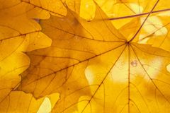 Κίτρινο αναδρομικά φωτισμένο υπόβαθρο φύλλων σφενδάμου φθινοπωρινή διακόσμηση Στοκ Φωτογραφία