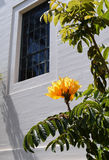 Κίτρινο ανθίζοντας δέντρο στο πάρκο BALBOA στο Σαν Ντιέγκο, Καλιφόρνια Στοκ Φωτογραφία