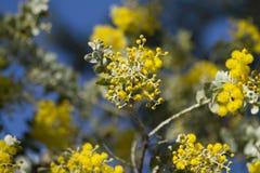 Κίτρινο ανθίζοντας δέντρο Στοκ εικόνα με δικαίωμα ελεύθερης χρήσης
