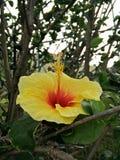 Κίτρινο ανθίζοντας hibiscus λουλούδι Στοκ Εικόνες
