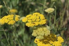 Κίτρινο ανθίζοντας yarrow (millefolium Achillea) Στοκ φωτογραφία με δικαίωμα ελεύθερης χρήσης