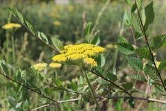 Κίτρινο ανθίζοντας yarrow (millefolium Achillea) Στοκ Εικόνες
