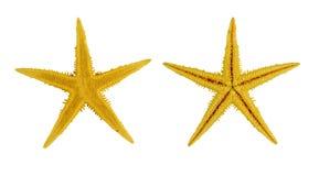 Κίτρινο αστέρι θάλασσας δύο, που απομονώνεται στο άσπρο υπόβαθρο Στοκ Φωτογραφία