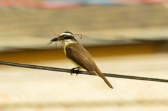 Κίτρινο βραζιλιάνο πουλί (sulphuratus Pitangus) με ένα ραβδί στο ράμφος του Στοκ φωτογραφία με δικαίωμα ελεύθερης χρήσης
