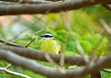 Κίτρινο βραζιλιάνο πουλί (sulphuratus Pitangus) σε ένα δέντρο Στοκ εικόνες με δικαίωμα ελεύθερης χρήσης