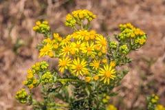 Κίτρινο βλαστάνοντας και ανθίζοντας κοινό ragwort από τον περίβολο στοκ φωτογραφίες