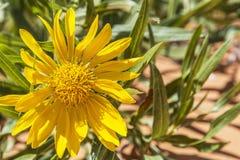 Κίτρινο γενικό λουλούδι στη Γιούτα ΗΠΑ Στοκ Εικόνες