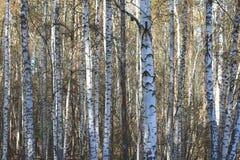Κίτρινο δάσος σημύδων φθινοπώρου τον Οκτώβριο Στοκ Εικόνες