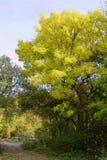 Κίτρινο δέντρο το φθινόπωρο Στοκ φωτογραφίες με δικαίωμα ελεύθερης χρήσης