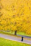 Κίτρινο δέντρο φθινοπώρου, κίτρινο φύλλωμα φθινοπώρου με το ζεύγος που περπατά κάτω Στοκ φωτογραφίες με δικαίωμα ελεύθερης χρήσης