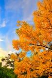 Κίτρινο δέντρο φθινοπώρου Στοκ Εικόνες
