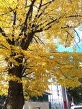 Κίτρινο δέντρο στοκ εικόνα με δικαίωμα ελεύθερης χρήσης