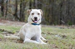 Κίτρινο εργαστηρίων κινεζικό σκυλί φυλής της Shar μικτό Pei Στοκ εικόνες με δικαίωμα ελεύθερης χρήσης