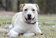 Κίτρινο εργαστηρίων κινεζικό σκυλί φυλής της Shar μικτό Pei Στοκ φωτογραφίες με δικαίωμα ελεύθερης χρήσης